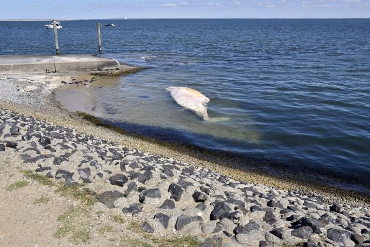 Proben aus dem toten Wal werden in Büsum untersucht