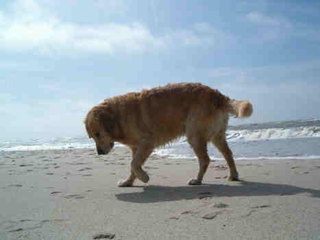 Hunde lieben den Strand auf Sylt