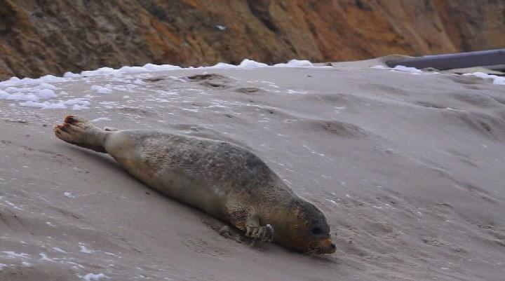 Seehund auf Sylt